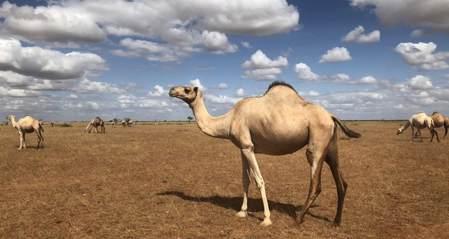 With refrigerated ATMs, camel milk business thrives