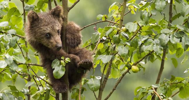 Bear population surges in Black Sea region, alarming locals