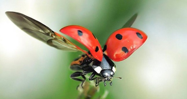 Ladybugs are considered to be lucky charms when they land on someone.