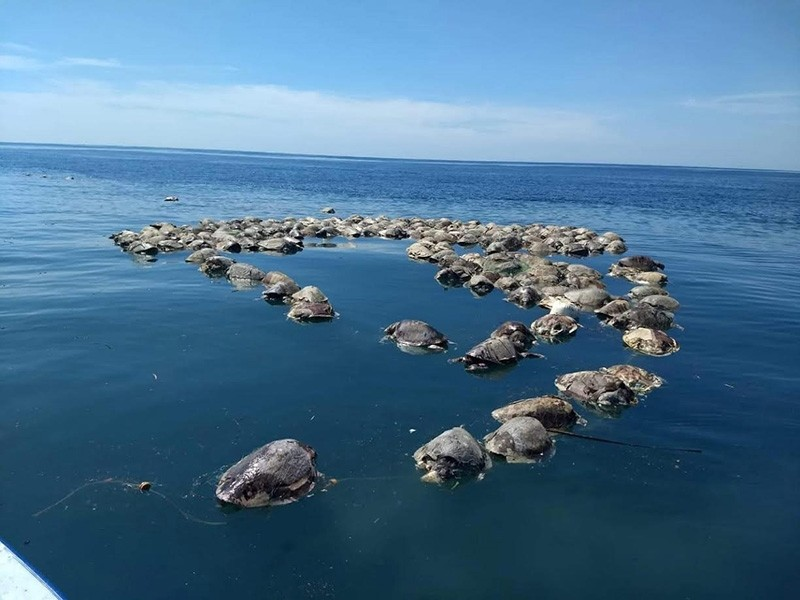 A view of lifeless turtles floating at the Puerto Escondido waters, in Oaxaca, Mexico, August 28, 2018. (EPA Photo)