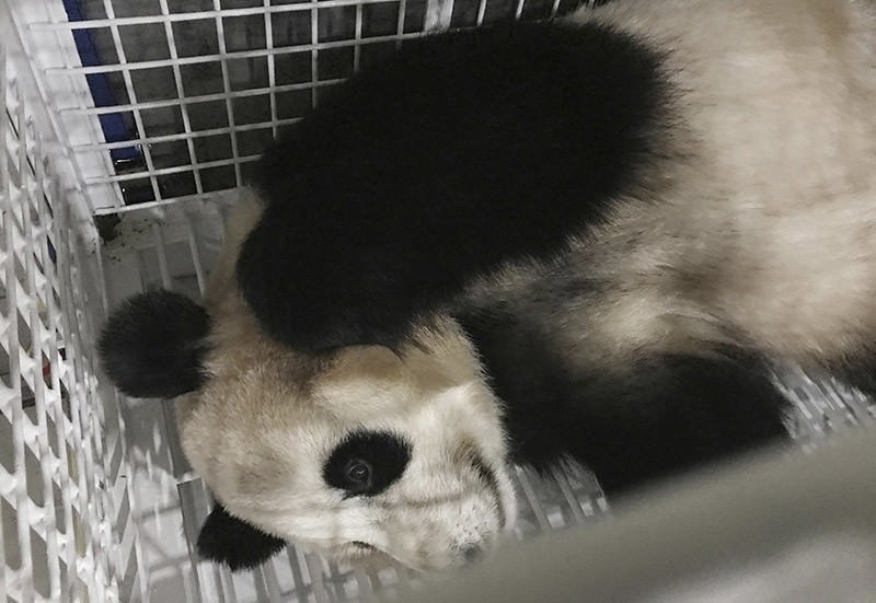 In this Monday, June 5, 2017 photo released by Xinhua News Agency, giant panda named ,Yang Bang, is in a cage after arriving at the Chengdu Shuangliu International Airport in Chengdu, in southwestern China's Sichuan Province. (AP Photo)