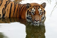 384 tigers poached in India in past decade
