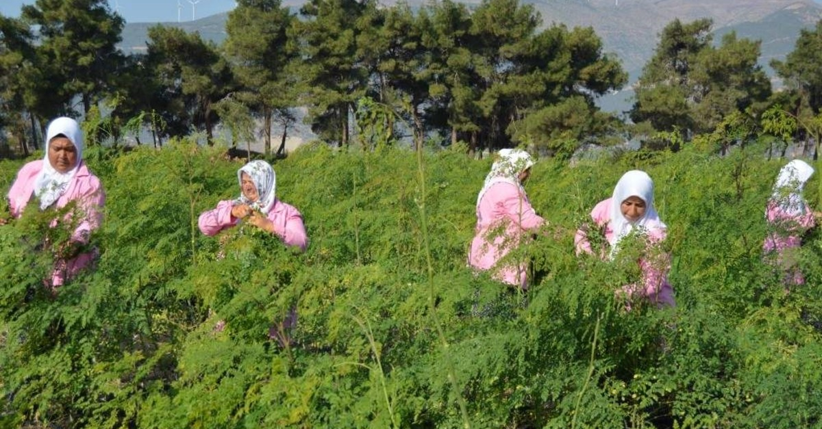 Local women from the Nurda? district of Gaziantep harvest moringa. (AA Photo)