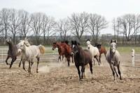 Die väterlichen Wurzeln europäischer Pferde liegen bei Pferderassen aus dem Orient - den Arabern und Turkmenen. Das hat ein internationales Forschungsteam nachgewiesen.  Die Wissenschaftler haben...
