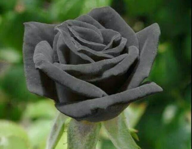 Black rose of Halfeti packaged to be enjoyed year-round