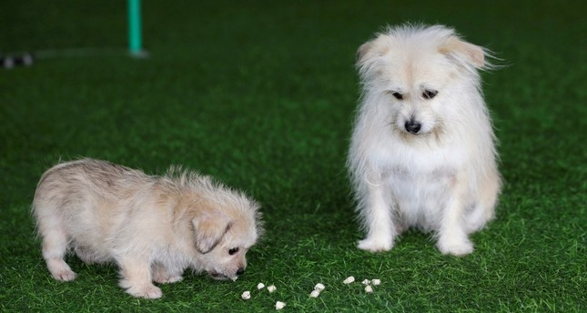 Nine-year-old Juice looks at its two-month-old clone at He Jun's pet resort in Beijing, China November 26, 2018. (REUTERS Photo)