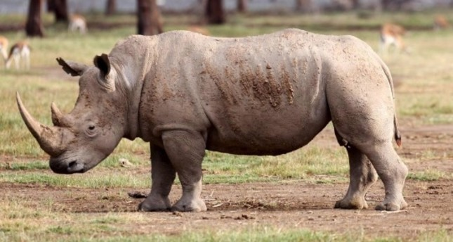 Most of the world's white rhinos live in South Africa, but they face extinction due to illegal hunting.