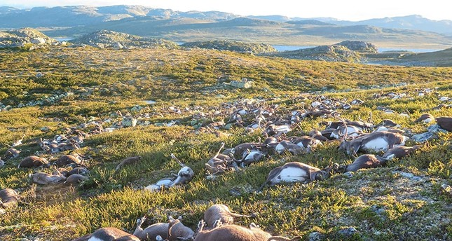 Some 323 dead wild reindeers struck by lightning are seen littering a hill side on Hardangervidda mountain plateau in central Norway on Saturday August 27, 2016 AFP Photo