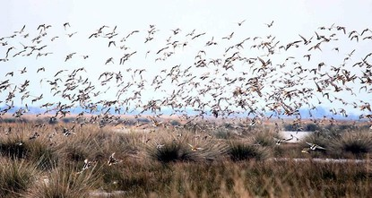Pakistan: Migratory birds find new destination