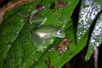 Bolivia's 'glass frogs' reappear after 18 years