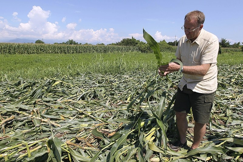 In this Tuesday, Aug. 10, 2010 file photo Giorgio Fidenato inspects genetically modified yellow corn on his land in Pordenone, northern Italy. (AP Photo)