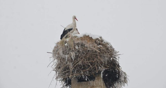 The two storks have not migrated this year. AA Photo