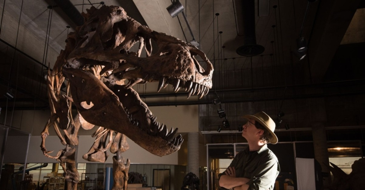 This undated handout photo released by the University of Alberta shows Dr W. Scott Persons looking at the skeleton of the Tyrannosaurus rex ,Scotty, at the T. rex Discovery Centre in Eastend, Canada. (AFP Photo)