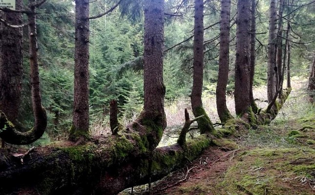 What were once side branches have become new trees growing along the fallen trunk. DHA Photo
