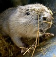 UK turns to beavers in bid to tackle flooding