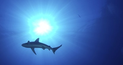 Australia culls 4 tiger sharks after tourist attacks