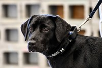 A puppy lost its love for sniffing out bombs and the CIA lost a recruit.
