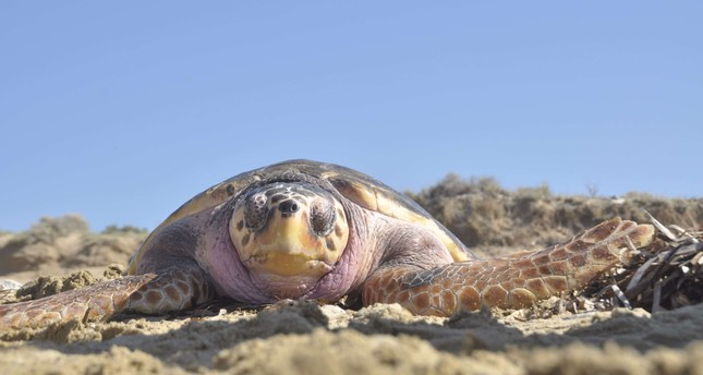 Loggerhead turtles lay their eggs on the Mediterranean coast, nesting on beaches from Greece and Turkey to Israel and Libya.