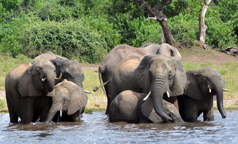 In this March 3, 2013 file photo elephants drink water in the Chobe National Park in Botswana. (AP Photo)