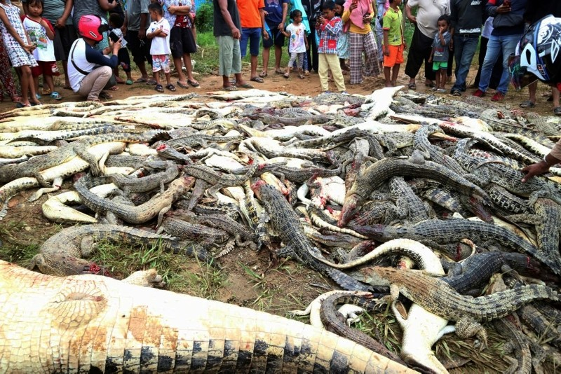 In this Saturday, July 14, 2018, photo, people look at the carcasses of crocodiles slaughtered by villagers in Sorong, West Papua, Indonesia. (AP Photo/Irianti)