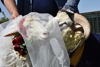 В Турции провели церемонию бракосочетания для барана и овцы