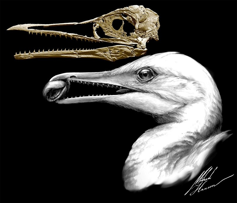 CT-scan-based skull restoration and life reconstruction of the toothed stem bird Ichthyornis dispar, a primitive seabird that prospered about 85 million years ago along the warm, shallow inland sea that once split North America. (Reuters Photo)