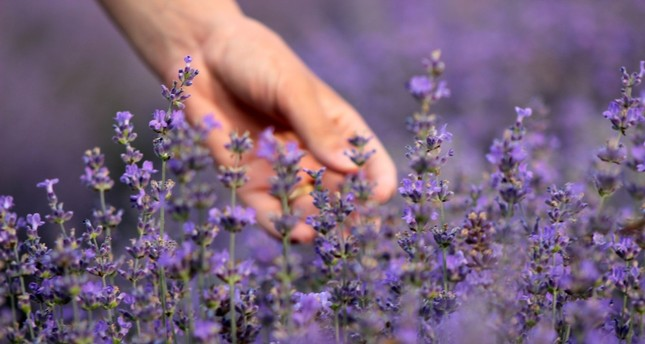 Lavender is one of the key ingredients of aromatherapy.