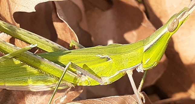 A cone-headed grasshopper was spotted at a national park in western Turkey's Bal?kesir province. (DHA Photo)