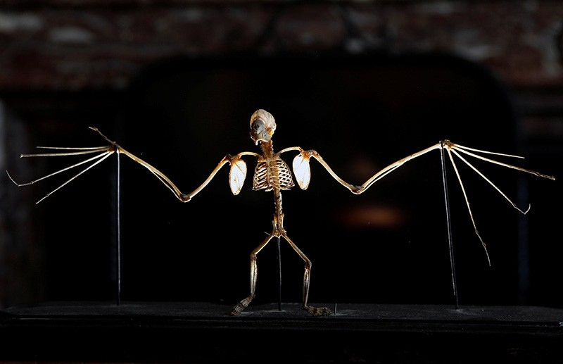 The skeleton of a Molossidae bat is pictured at the Royal Institute of Natural Sciences in Brussels, Belgium, May 9, 2018. (Reuters Photo)