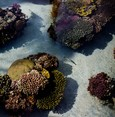 Northern Red Sea corals may survive global warming