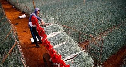 أزهار القرنفل التركية على موعد مع عيد الحب