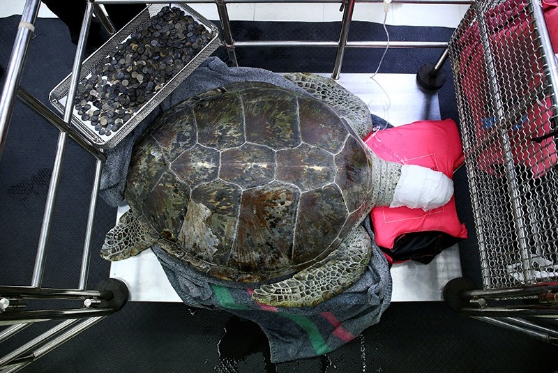 Omsin, a 25 year old femal green sea turtle, rests next to a tray of coins that were removed from her stomach at the Faculty of Veterinary Science, Chulalongkorn University in Bangkok, Thailand March 6, 2017. (Reuters Photo)