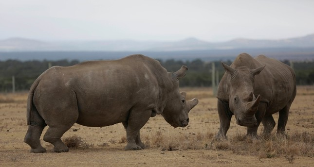 In this Friday, March 2, 2018 photo Fatu, left, and Najin, right, they only two female northern white rhinos left in the world, grace in the pen where they are kept for observation, at the Ol Pejeta Conservancy in Laikipia county in Kenya. (AP Photo)