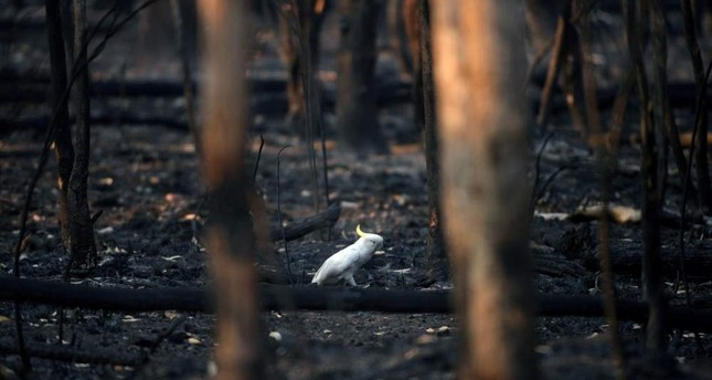 An injured sulfur-crested cockatoo walks through the burnt ground of Kosciuszko National Park in Providence Portal, New South Wales, Australia, Jan. 11, 2020. REUTERS/Tracey Nearmy