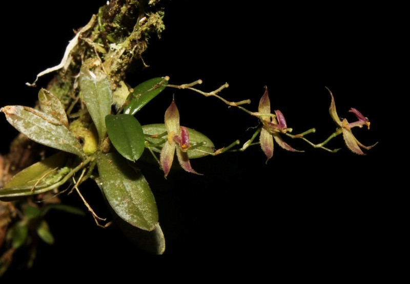 This undated and unlocated handout picture released on August 14, 2018 by the National Service of Protected Natural Areas (Sernanp) shows the recently discovered orchid species ,Andinia tingomariana, found in Peru. (AFP Photo)