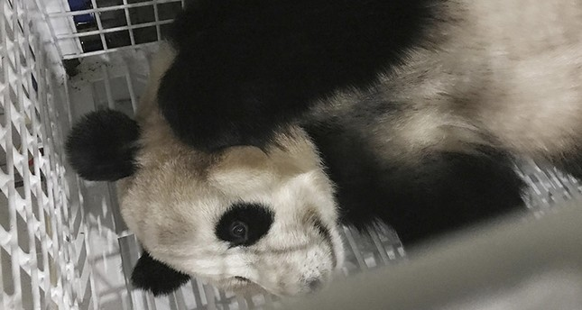 In this Monday, June 5, 2017 photo released by Xinhua News Agency, giant panda named Yang Bang is in a cage after arriving at the Chengdu Shuangliu International Airport in Chengdu, in southwestern China's Sichuan Province. AP Photo