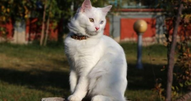 Van cat breed will be represented at the International Cat Beauty Pageant in Istanbul. DHA Photo