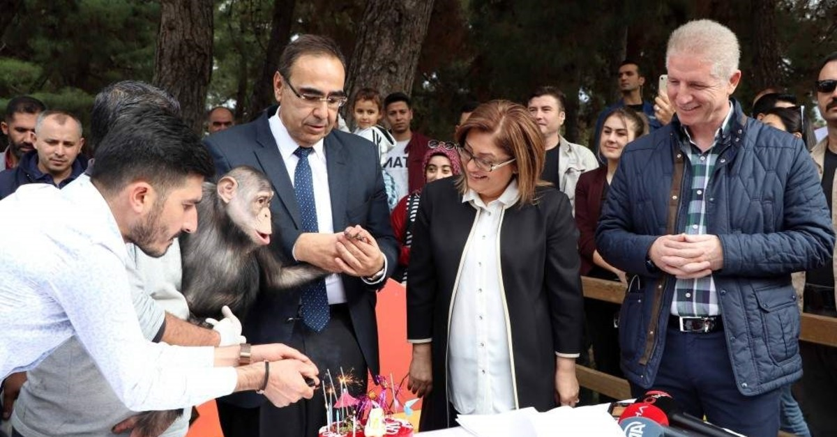 A birthday celebration was also held for the four-year-old Can, a chimpanzee, during the event at the Gaziantep zoo, where Gaziantep Metropolitan Mayor Fatma ?ahin (2nd right) also attended. (DHA Photo)