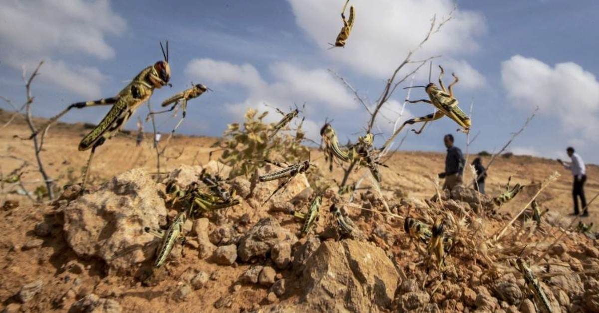 Young desert locusts that have not yet grown wings jump in the air as they are approached by a visiting delegation from the Food and Agriculture Organization (FAO) in the desert near Garowe, in the semi-autonomous Puntland region of Somalia, Feb. 5, 2020 (AP Photo)
