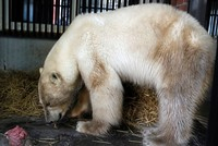 Starved polar bear found in Russia taken to zoo for treatment