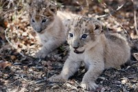 South Africa welcomes world's first artificially-conceived lion cubs