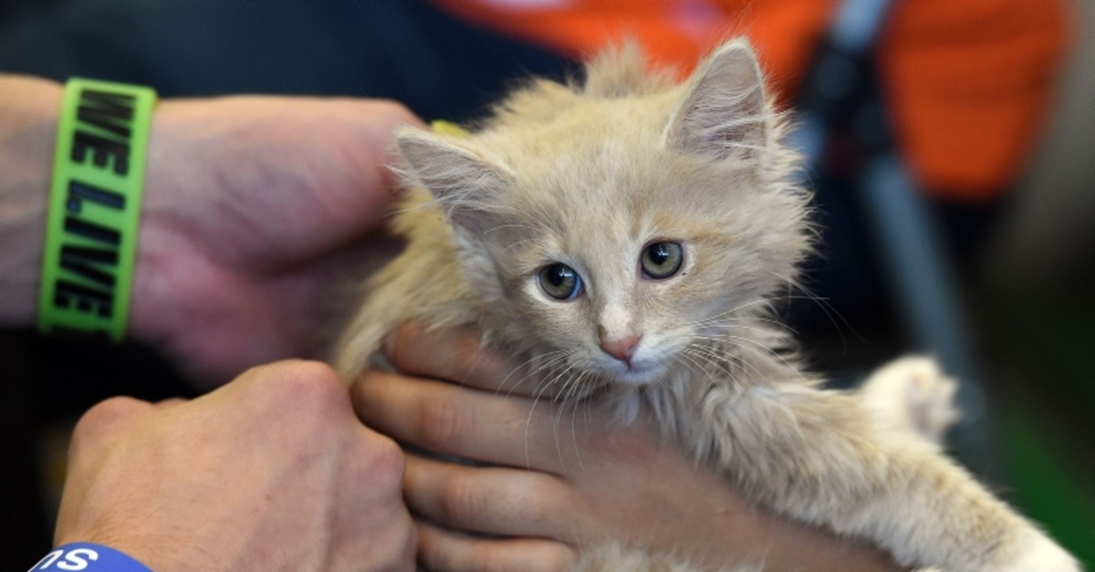 In this file photo taken on June 7, 2015, Yusuf the kitten waits for adoption at the 'Best Friends' rescue shelter group at the inaugural CatConLa event in Los Angeles. (AFP Photo)