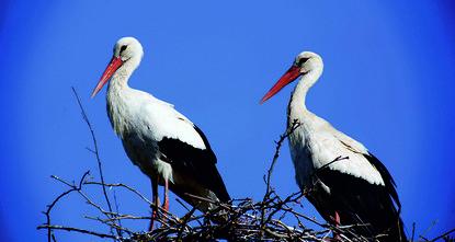 Migrating white storks nest in Turkey's Bursa