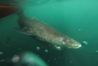 Dänische Wissenschaftler entdeckten den wohl ältesten Hai der Welt - geschätzte 512 Jahre alt soll der Grönlandhai sein.  Als die Wissenschaftler den 5,4 Meter großen weiblichen Grönlandhai im...