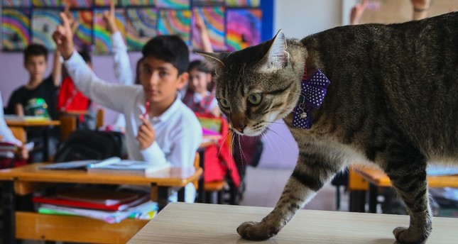 Ateş the Cat enjoys himself in the classroom while the students are listening to their teacher.