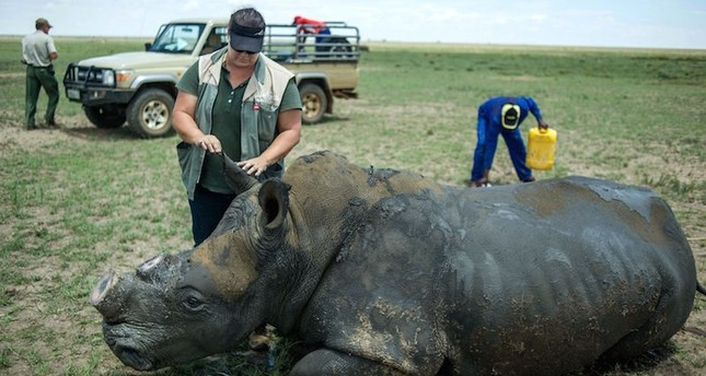Photo shows a de-horned rhino slowly waking up after his horn was trimmed at John Hume's Rhino Ranch in Klerksdorp, in the North Western Province of South Africa. AFP Photo