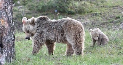 pSeveral hungry grizzly bears left their mountain homes and travelled to a hotel area at Cıbıltepe Ski Resort, which is located in the Sarıkamış district of eastern Turkey's Kars...