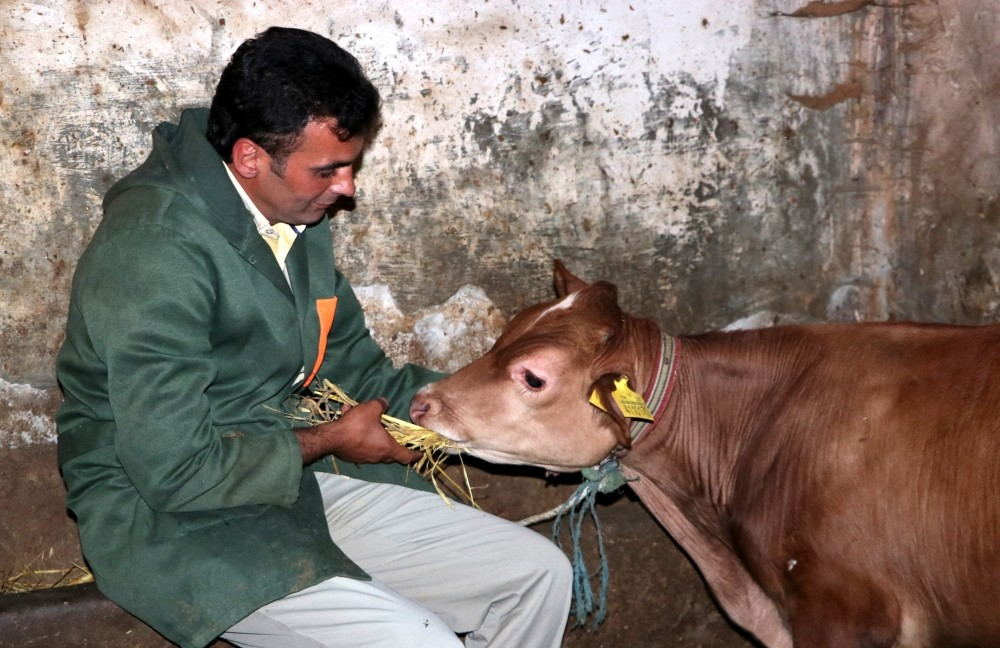 Metin Yalu00e7u0131n tends to the cow which has become a celebrity for its daring escape from slaughter.
