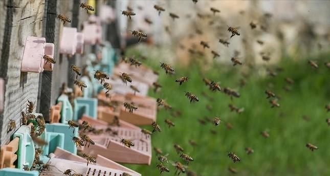 تركيا تسجل النحلة الفائقة في إنتاج العسل