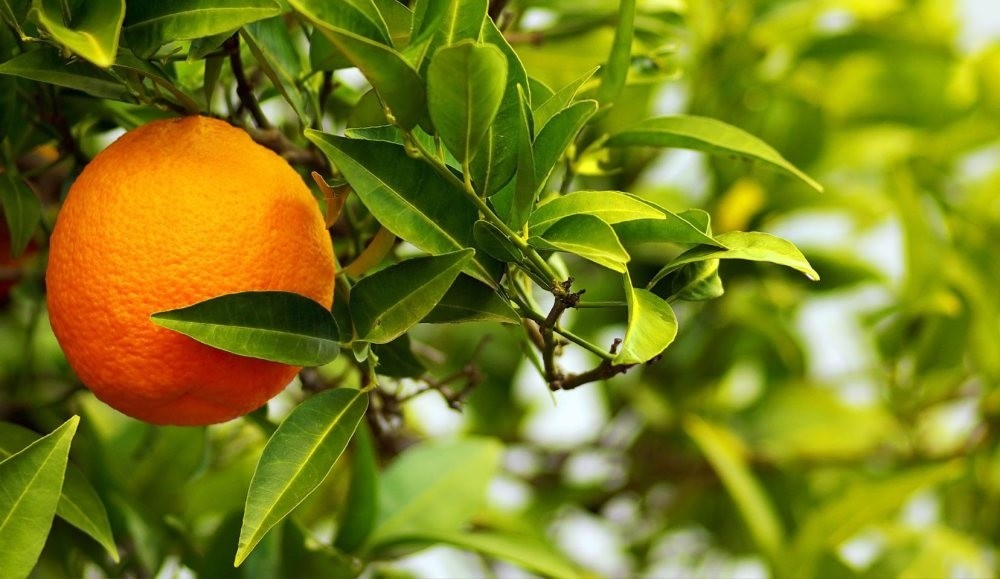 Bitter orange is highly abundant in the southern province of  Antalya but Turkish people  usually plant bitter orange trees for decorative purposes.